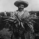 A black-and-white photo of a Mexican-American carrot harvester.